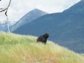 Alaskan Black Bear DSC00701