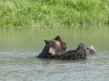 Alaskan Brown Bear DSC00772