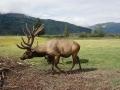 Reindeer Alaska DSC04472