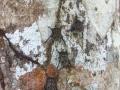 Bats On A Tree - zcosta ricaIMG_6088