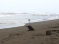 Dogs on Caribbean Shoreline - zcosta ricaIMG_6143