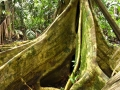 Tree In Rain Forest - zcosta ricaIMG_6220