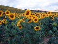 TuscanSunFlowers