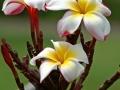Maui Picotee