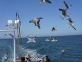 Sea Gulls Following The Fishing Boat For Scraps