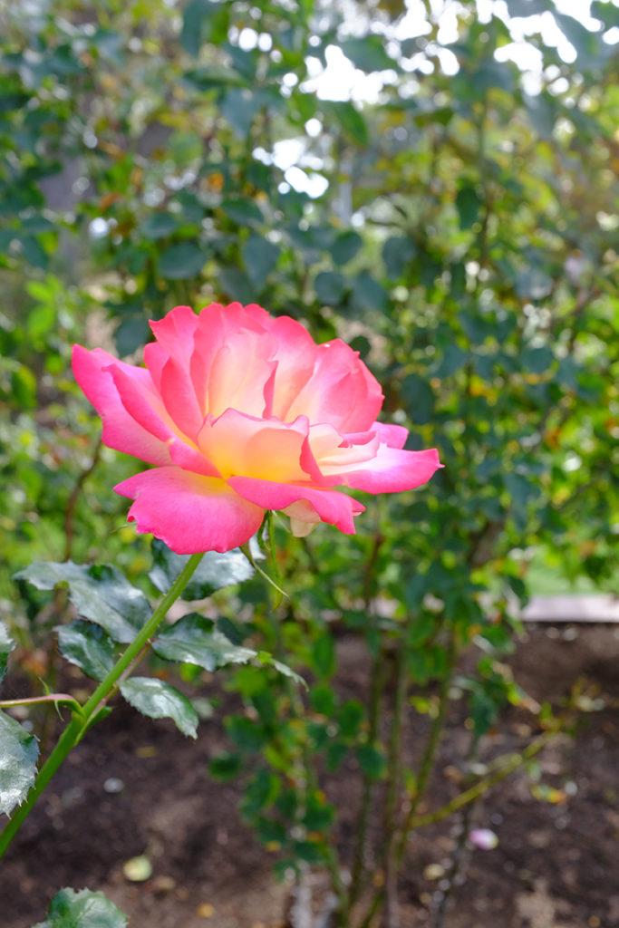 Roses In Balboa Park